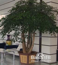 富贵树的养殖方法图片