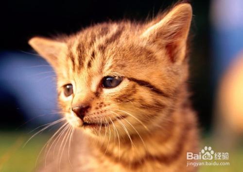 新养的小猫晚上一直叫图片