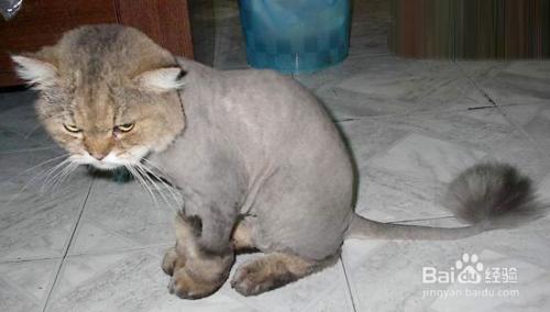 波斯猫会不会咬人图片