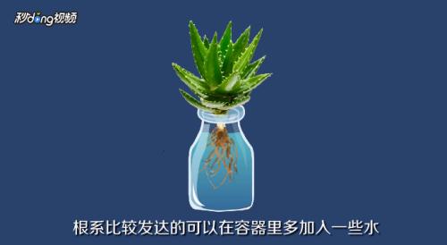 多肉植物水培注意事项图片